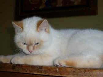 Cream colourpoint british shorthair cats