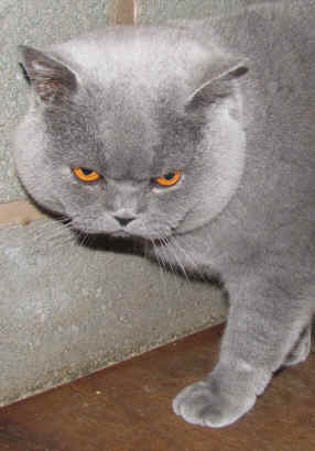 British blue female cats for sale