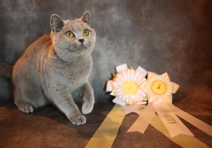 British shorthair cat breeders in london