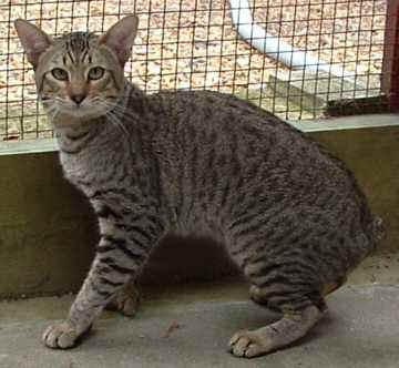Desert Lynx Breed Profile
