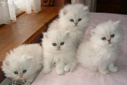 Если еще 15 лет назад в Костроме были сотни персидских кошек, то.