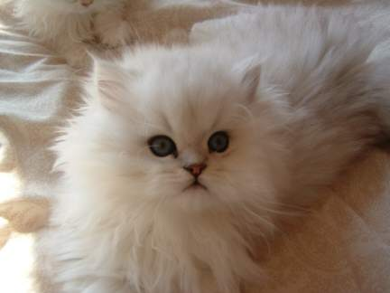 longhair persian u0026amp exotics cats and kittens 432x324