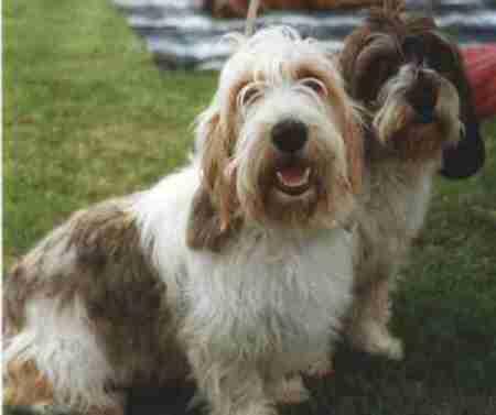 Basset griffon vendeen petit and grand - Petit basset hound angers ...